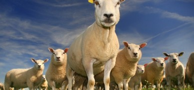 schapen-dam